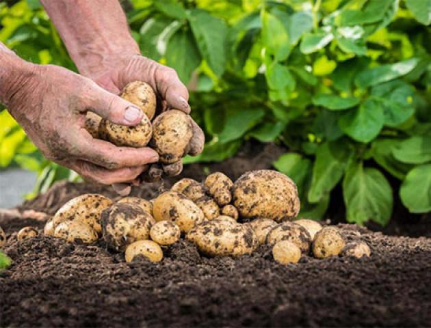 Як на Волині збирають картоплю. ВІДЕО