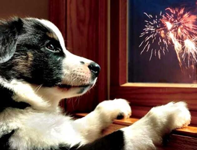 «Одна собака померла, іншу - паралізувало», - луцька ветеринарка про наслідки салютів для тварин