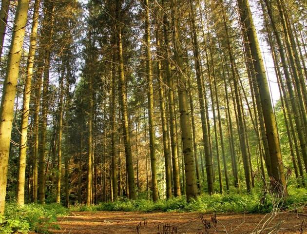 Симфонія волинського лісу: художників запрошують у Цуманську пущу