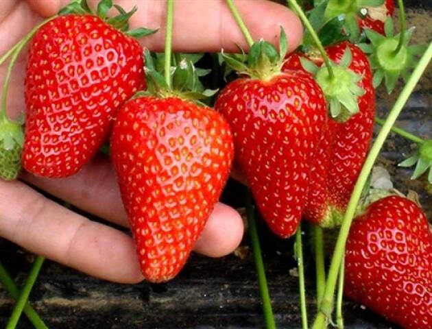 Волинський фермер вирощує полуницю на соломі. Це німецька технологія