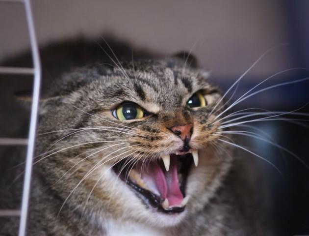 На Волині виявили скаженого кота