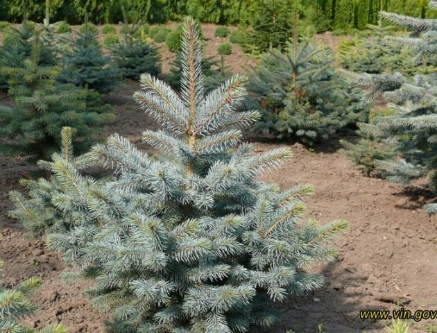 Арешт і штраф: як каратимуть волинян за незаконно зрубані новорічні дерева