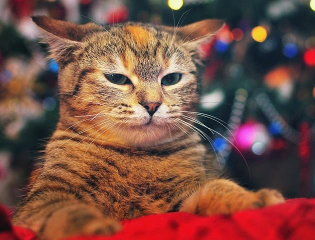 «Коти vs ялинки»: стартувала щорічна всесвітня битва. ВІДЕО. ФОТО