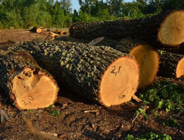 На Волині «спалили» незаконну вирубку дубів