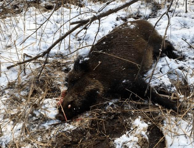 На Волині браконьєри вбили вагітну самку дикого кабана