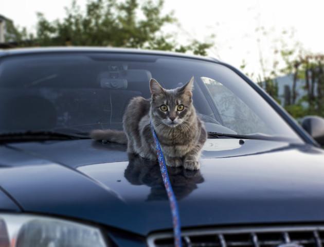 У  машині може грітися кіт: луцьких автомобілістів просять заглядати під капот. ФОТО