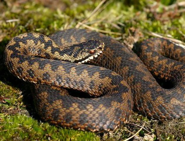 Чоботи, палка та без провокацій: лікар розповів волинянам, як вберегтися від змій. ВІДЕО