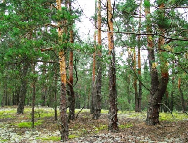 На Волині зменшились масштаби всихання соснових лісів