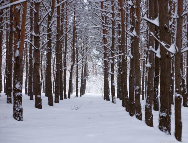 Казкові світлини засніженого лісу на Волині
