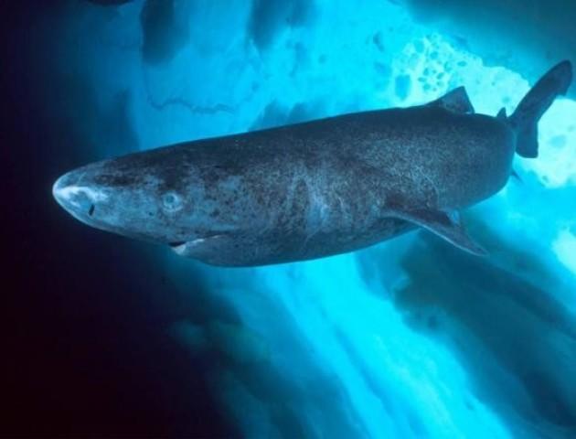 Вчені зловили акулу, якій понад 500 років