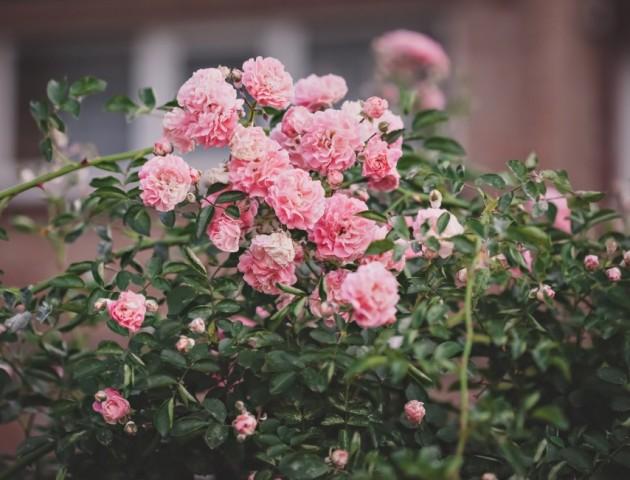 «Море» квітів у об'єктиві лучанки. ФОТО