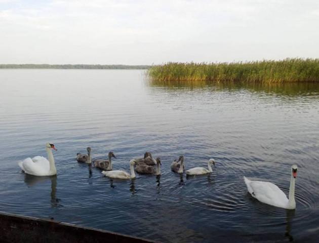 Фотофакт: лебедина родина на волинському озері