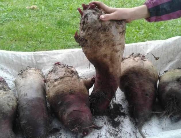 Волиняни похизувалися буряком, який вродив на славу
