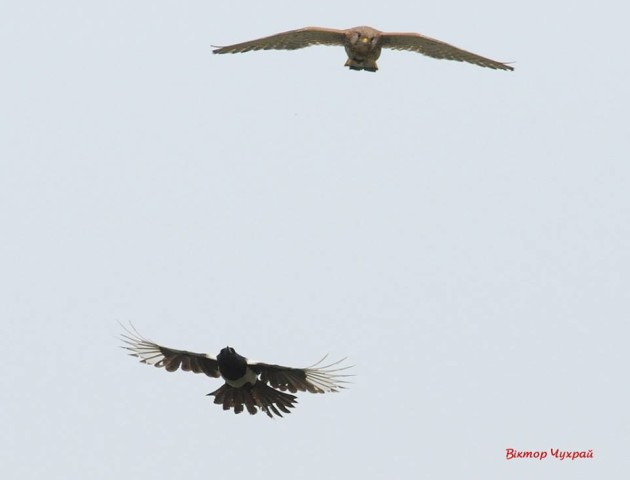 Птахи в об'єктиві луцького фотографа. ФОТО