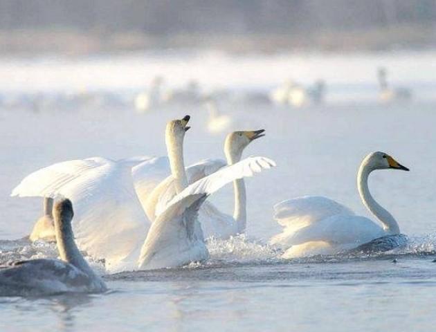 «Замерзають крилаті друзі»: просять допомогти лебедям, які зимують на Волині