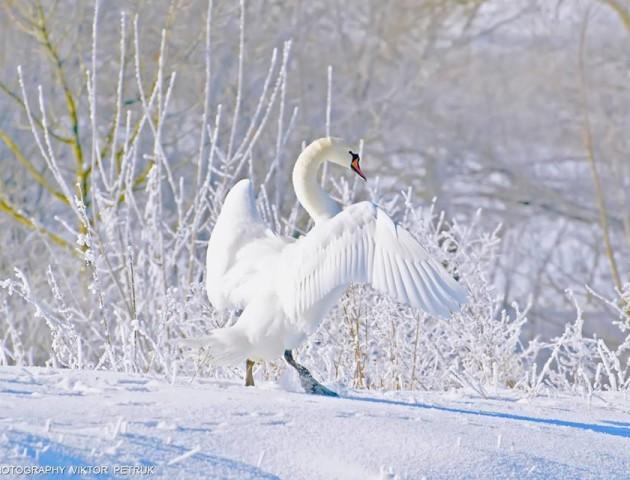 Вражаючі світлини птахів, які залишились зимувати у Луцьку. ФОТО