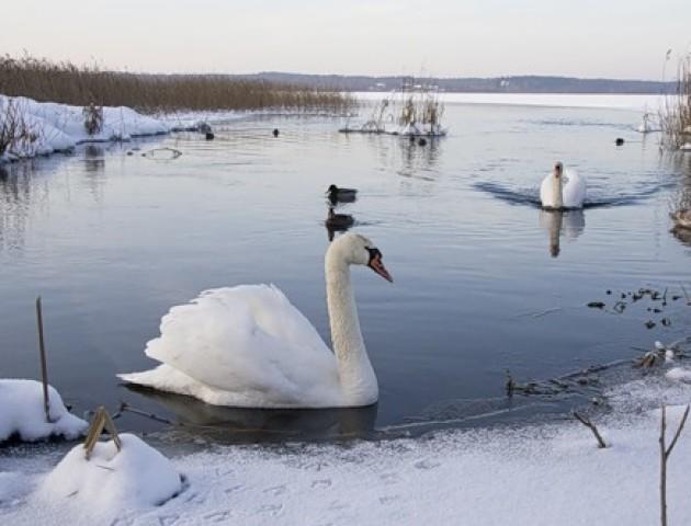 Волинян просять не годувати лебедів та качок хлібом