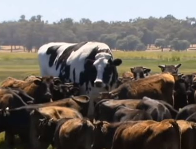 Найбільша корова Австралії вагою 1,5 тонни уникла смерті через свої параметри. ВІДЕО