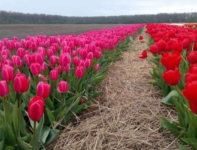 Волинян запрошують подивитися на цвітіння мільйона тюльпанів
