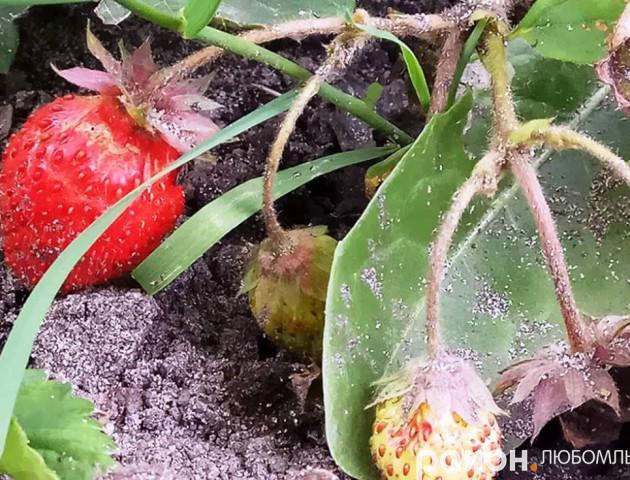 Напередодні зими на Волині достигає полуниця. ФОТО