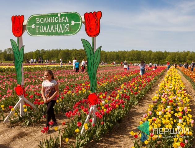 Мільйони тюльпанів, якіростуть за 40 кілометрів від Луцька, терміново зріжуть