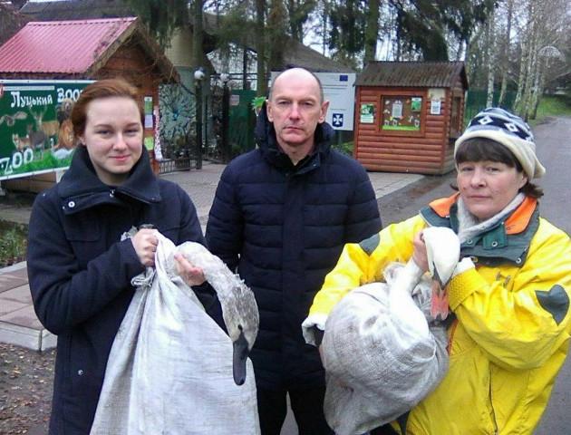 Луцькому зоопарку передали двох врятованих лебедів