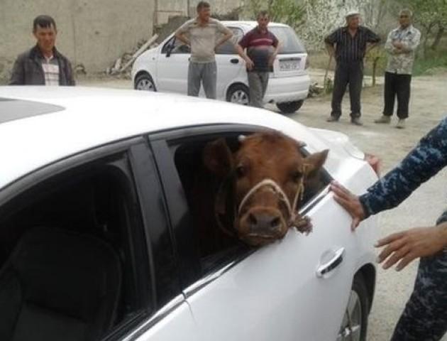 В Узбекистані вкрадене теля везли в салоні люксового авто. ФОТО