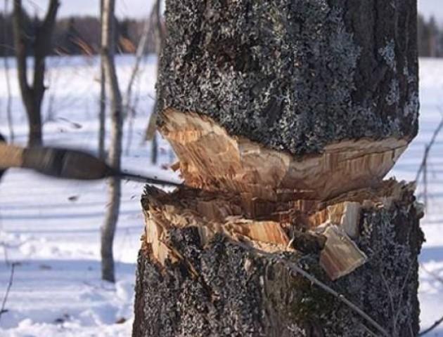 Волинська поліція розслідує незаконну порубку лісу та опір лісовій охороні