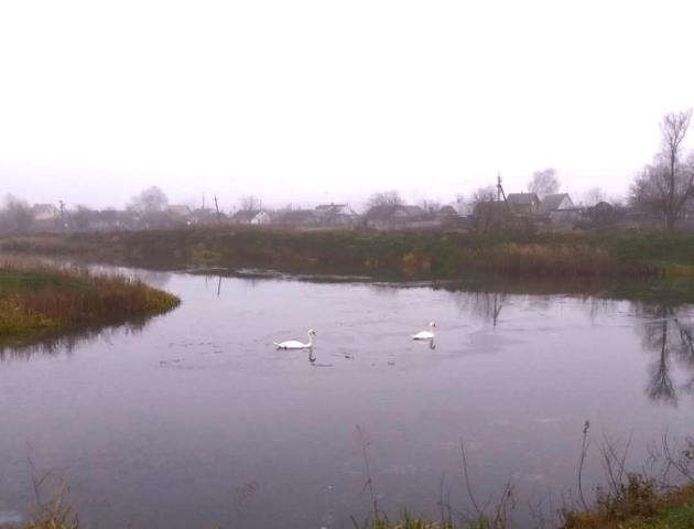 Неймовірні світлини лебедів на волинському водному плесі