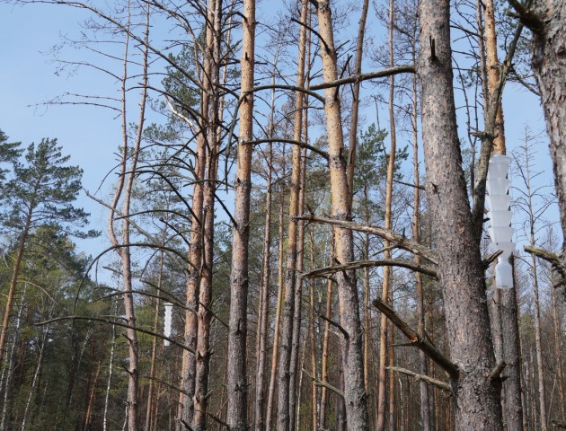 Через короїдів Волинь може залишитися без лісів. ВІДЕО