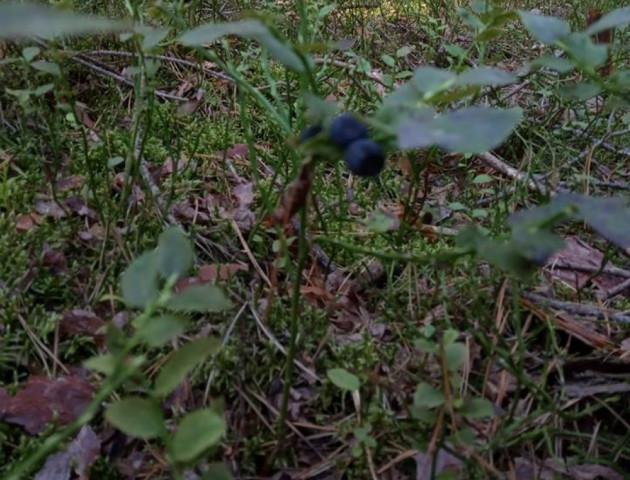 На Волині вдруге дозріли чорниці, – соцмережі. ФОТО