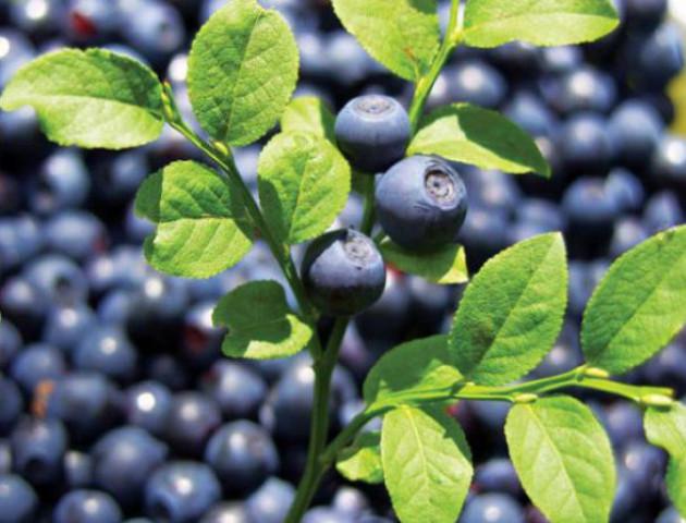 На Волині – щедрий урожай чорниці