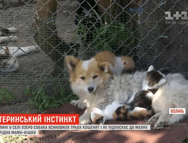 У селі на Волині собака вкрала кошенят і тепер сама їх виховує