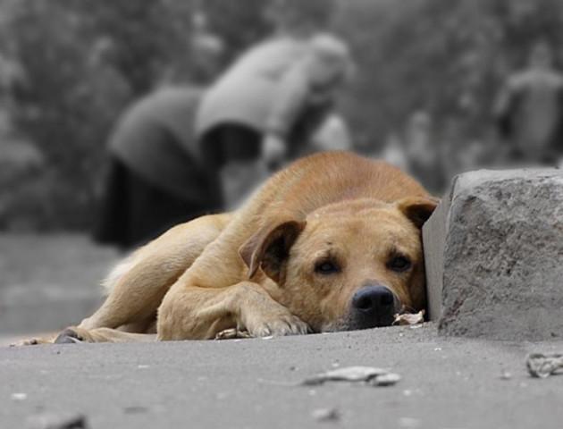 Звідки у Луцьку «чужі» безпритульні собаки. ВІДЕО