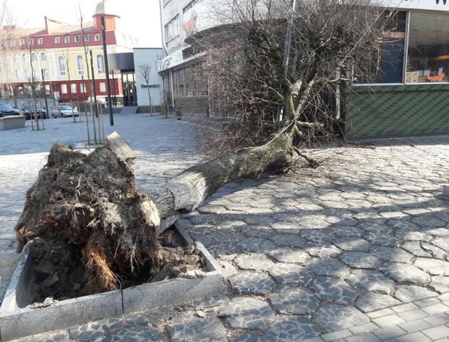 У центрі Луцька впало дерево