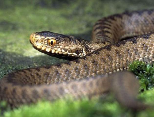 Шістьох волинян покусали змії