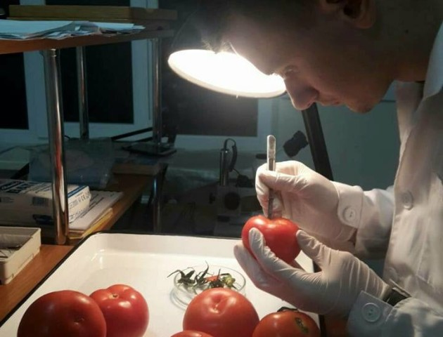 На Волині у помідорах знайшли небезпечного шкідника