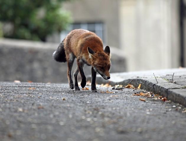 У центрі Луцька гуляла лисиця. ВІДЕО