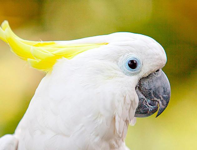 Смішне відео: як папуга цілується зі своїм відображенням