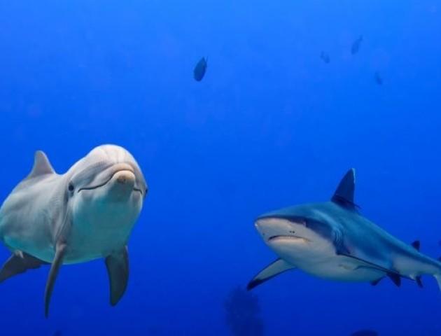 Вчені розповіли, чому акули бояться дельфінів
