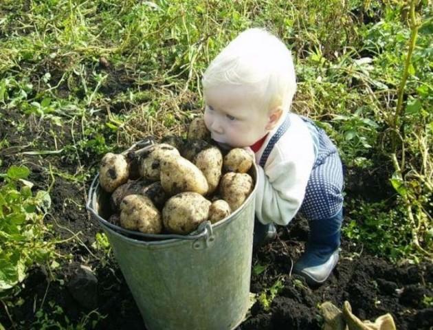 Чому на Волині дешева картопля. ВІДЕО