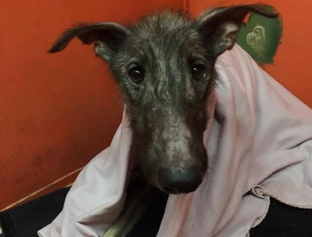 Померла собака Белла, яку рятували всім Луцьком
