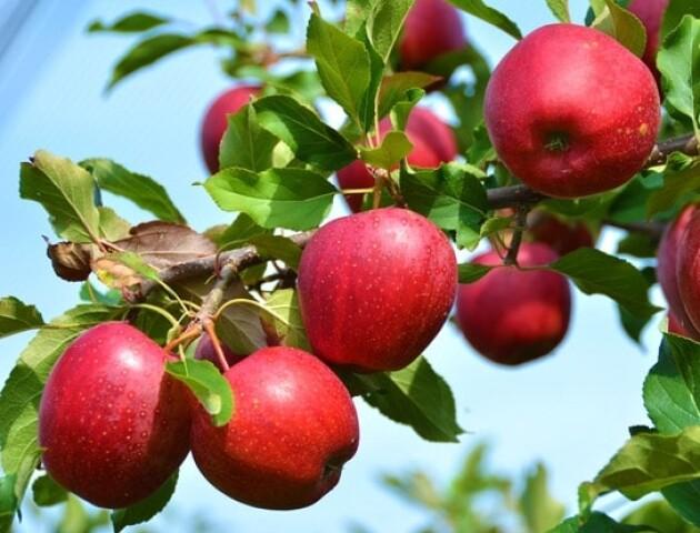Більше 100 сортів яблук та фундук. Волинська сім'я заклала великий сад біля дому