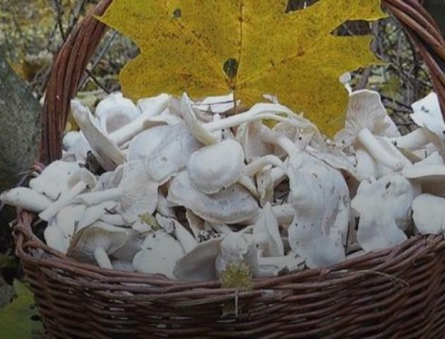 Під Луцьком назбирали грибів посеред зими