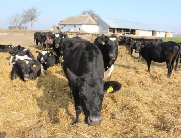 Автоматизовані поїлки та аналізатор молока. На Волині відкрили перші сімейні молочні ферми