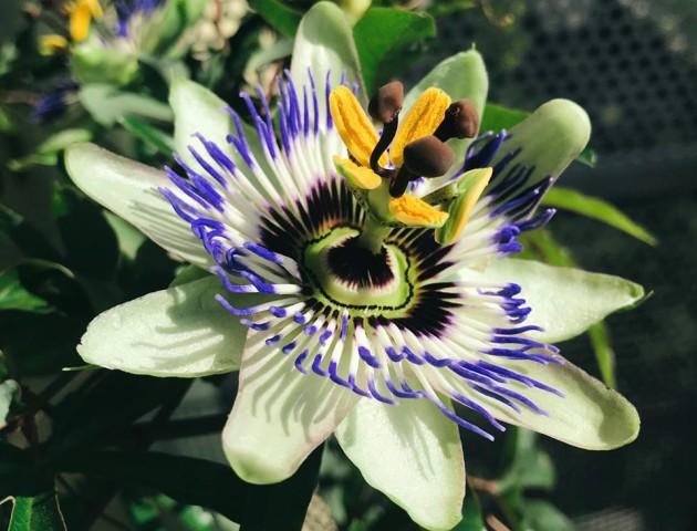 Цвіте лише добу: лучанин сфотографував неймовірно гарну квітку. ФОТО. ВІДЕО