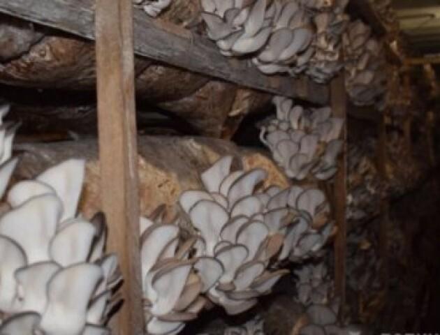 «Грибникам» з Волині доведеться викинути 3 тонни глив, які зіпсувались через карантин
