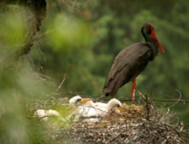 Через 18 років лелечиха повернулася на Волинь і висиділа пташенят