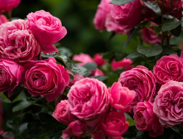 У Луцькому зоопарку готують фотозону з 600 трояндами