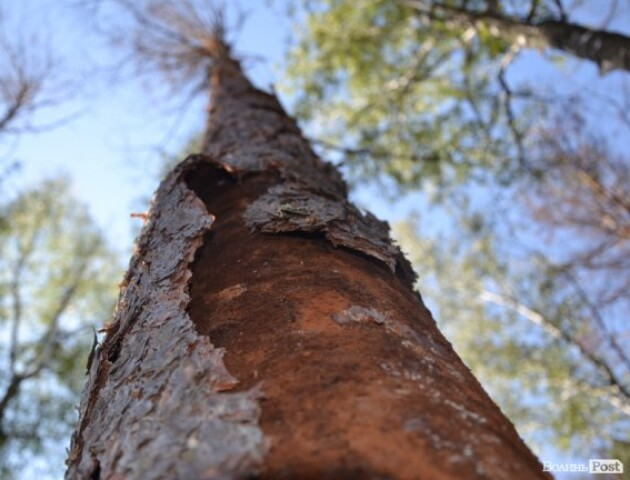 Ліс знищують короїди і …закони